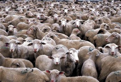 MBH14O_sheep